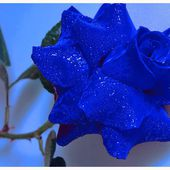 Absolutely fabulous blue rose