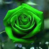 Bright green rose