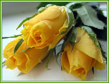 Pretty yellow roses