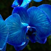 Unusual blue orchid