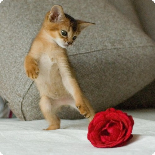 Kitten loves rose