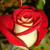 Incredible red rose