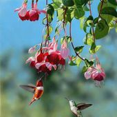 Beautiful Hummingbirds