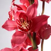 Amazing red orchid