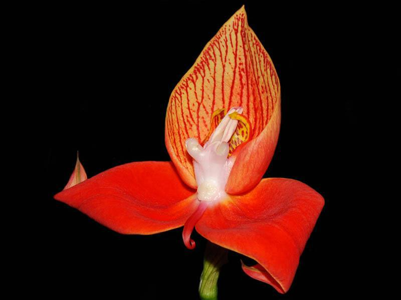 Incredible red orchid