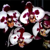 Wonderful spotty orchid