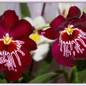 Two wine-coloured orchids