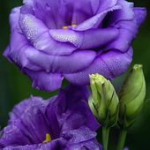 Awesome Purple Lisianthus