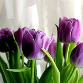 Awesome purple tulips