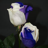 Amazing two colored roses!
