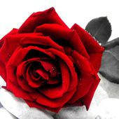 What does red rose mean?