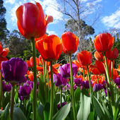 Colourful tulips and blue sky