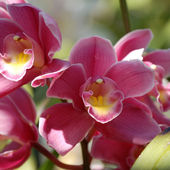 Tender pink orchid
