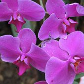 Who likes pink orchids?