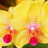 Fairy looking yellow orchids