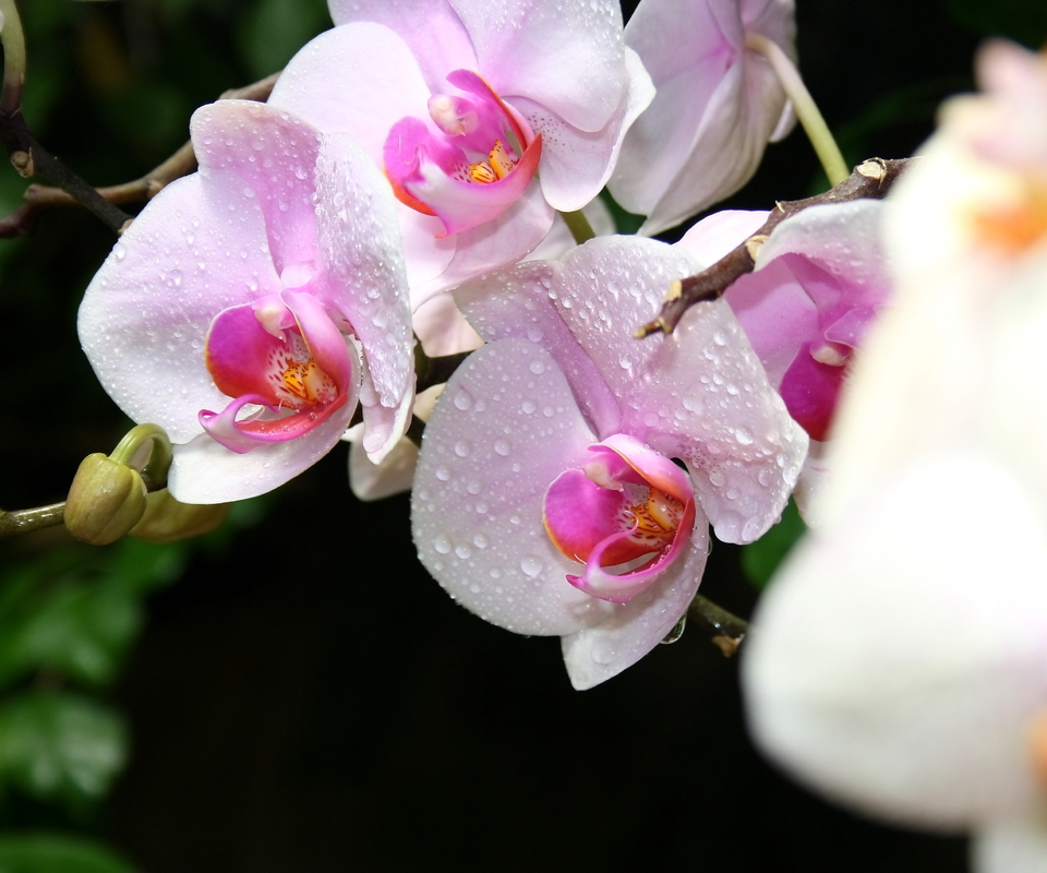 Pink orchids with water drops