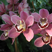 Nice looking pink orchids