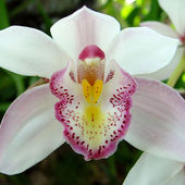 Fresh white orchid