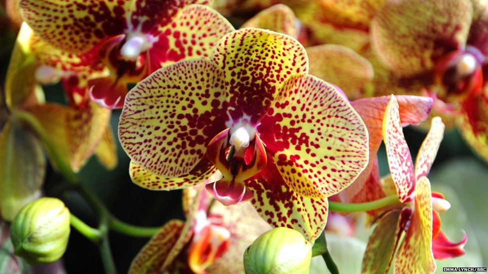 Two colored orchid