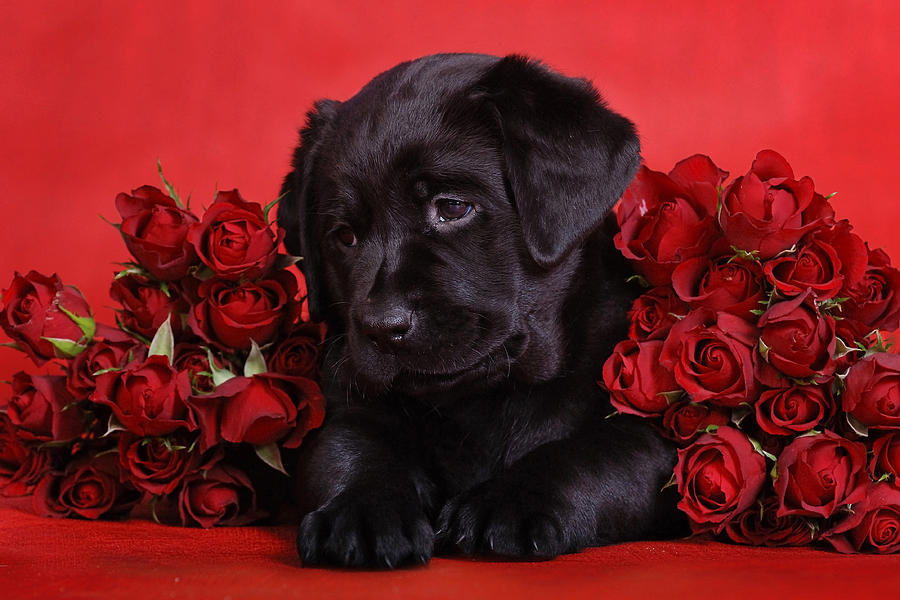 Pretty puppy in roses