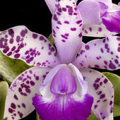 White orchid with purple spots
