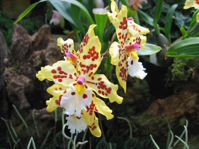 Unusual yellow orchids