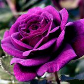 Lovely purple rose