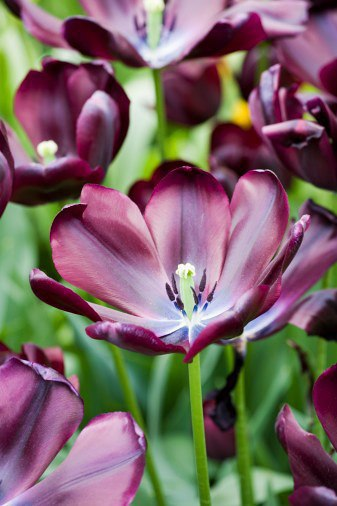 Lovely purple tulips