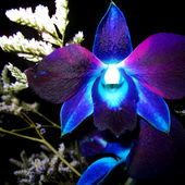 Amazing neon orchid