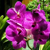 Beautiful purple orchids