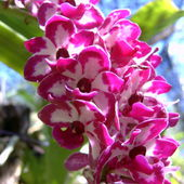 Two coloured orchid bush
