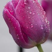 Red tulip with raindrops