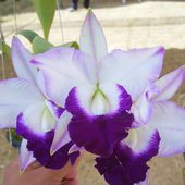 Rare two coloured orchids
