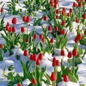 Red tulips and snow