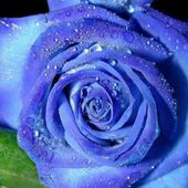 Unusual blue rose with raindrops