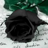 Amazing black rose