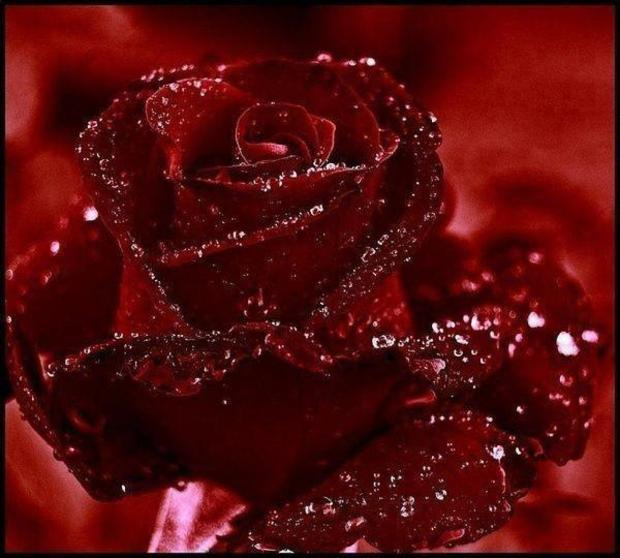 Amazing red rose with water drops