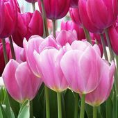 Beautiful fresh tulips