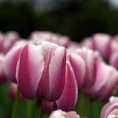 Magnificent pink tulips