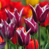 Awesome looking purple tulips