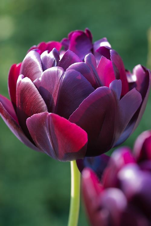 Elegant purple tulip