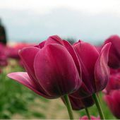 Amazing red tulips