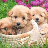 Cute pups love tulips!