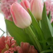 Very tender pink tulips