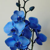 Unique blue orchids