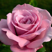 Magnificent pink rose