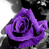 Rare purple rose