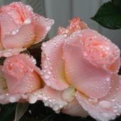 Tea roses with raindrops