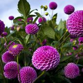Purple Pompom Dahlias