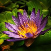 Magnificent Water Lily
